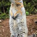 Arctic Ground Squirrel by Doug Lloyd