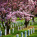 Arlington Cherry Trees by Brian Jannsen