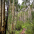 Aspen Forest by Endre Balogh