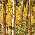 Aspen Gold by James BO Insogna