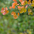 Aspen Leaves by Julie Rideout
