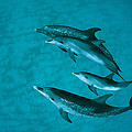 Atlantic Spotted Dolphins by Flip Nicklin
