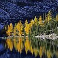 Autumn, Alpine Larch Trees, Lake Agnes by John Sylvester