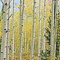 Autumn Aspens by Dean Pennala