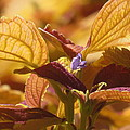 Autumn Coleus by Alfred Ng