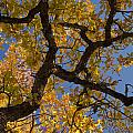 autumn Garry Oak Quercus garryana Klickitat County WA USA by Ed Book