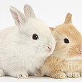 Baby Lop Rabbits by Mark Taylor