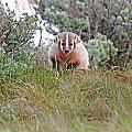 Badger by Elijah Weber