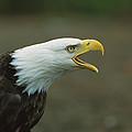 Bald Eagle Haliaeetus Leucocephalus by Suzi Eszterhas
