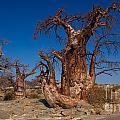Baobab Trees by Mareko Marciniak