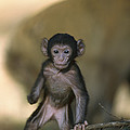 Barbary Macaque Macaca Sylvanus Infant by Cyril Ruoso
