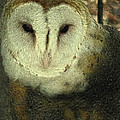 Barn Owl  by Donna Brown