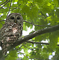 Barred Owl by Glenn Gordon