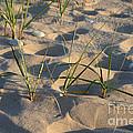 Beach Grass by Ted Kinsman