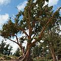 Beach Pine by Eric Gordon