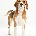 Beagle Dog by Mark Taylor