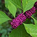Beauty-berry by Theresa Willingham