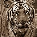 Bengal Tiger On The Prowl by Douglas Barnett