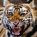 Bengal Tiger (panthera Tigris) by Louise Murray