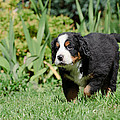 Bernese Mountain Dog Puppy Portrait by Waldek Dabrowski