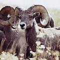 Bighorn Sheep by Maili Page