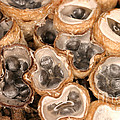 Birds Nest Fungus by Ted Kinsman