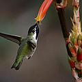 Black-chinned Hummingbird  by Saija  Lehtonen