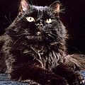 Black Persian Cat by Larry Allan