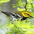 Black-throated Green Warbler by Doug Lloyd
