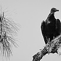 Black Vulture by Marx Broszio