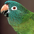 Blue Crowned Conure by Larry Allan