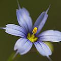 Blue-eyed Grass Wildflower - Sisyrinchium Angustifolium by Kathy Clark