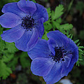 Blue Flowers  by Carol  Eliassen