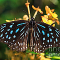 Blue Glassy Tiger Butterfly by Louise Heusinkveld