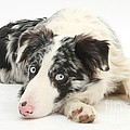 Blue Merle Border Collie by Mark Taylor