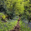 Bluebell Wood by Dr Keith Wheeler