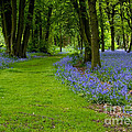 Bluebell Woods by Brian Roscorla