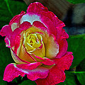 Blushing Rose by Bill Owen