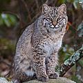 Bobcat by Dale J Martin