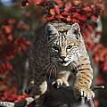 Bobcat Felis Rufus Walks Along Branch by David Ponton
