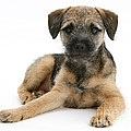 Border Terrier Puppy by Mark Taylor