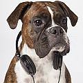 Boxer Dog With Headphones by LJM Photo