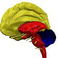 Brain Anatomy by Friedrich Saurer