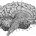 Brain Cross-section by Science Source