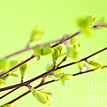 Branches With Green Spring Leaves by Elena Elisseeva