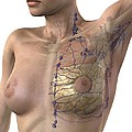 Breast Lymphatic System, Artwork by D & L Graphics