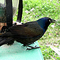 Brewers Black Bird  by Debbie Portwood