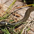 British Grass Snake by Dawn OConnor