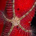 Brittle Star On Sponge, Belize by Todd Winner