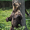 Brown Bear Itch by John Greim